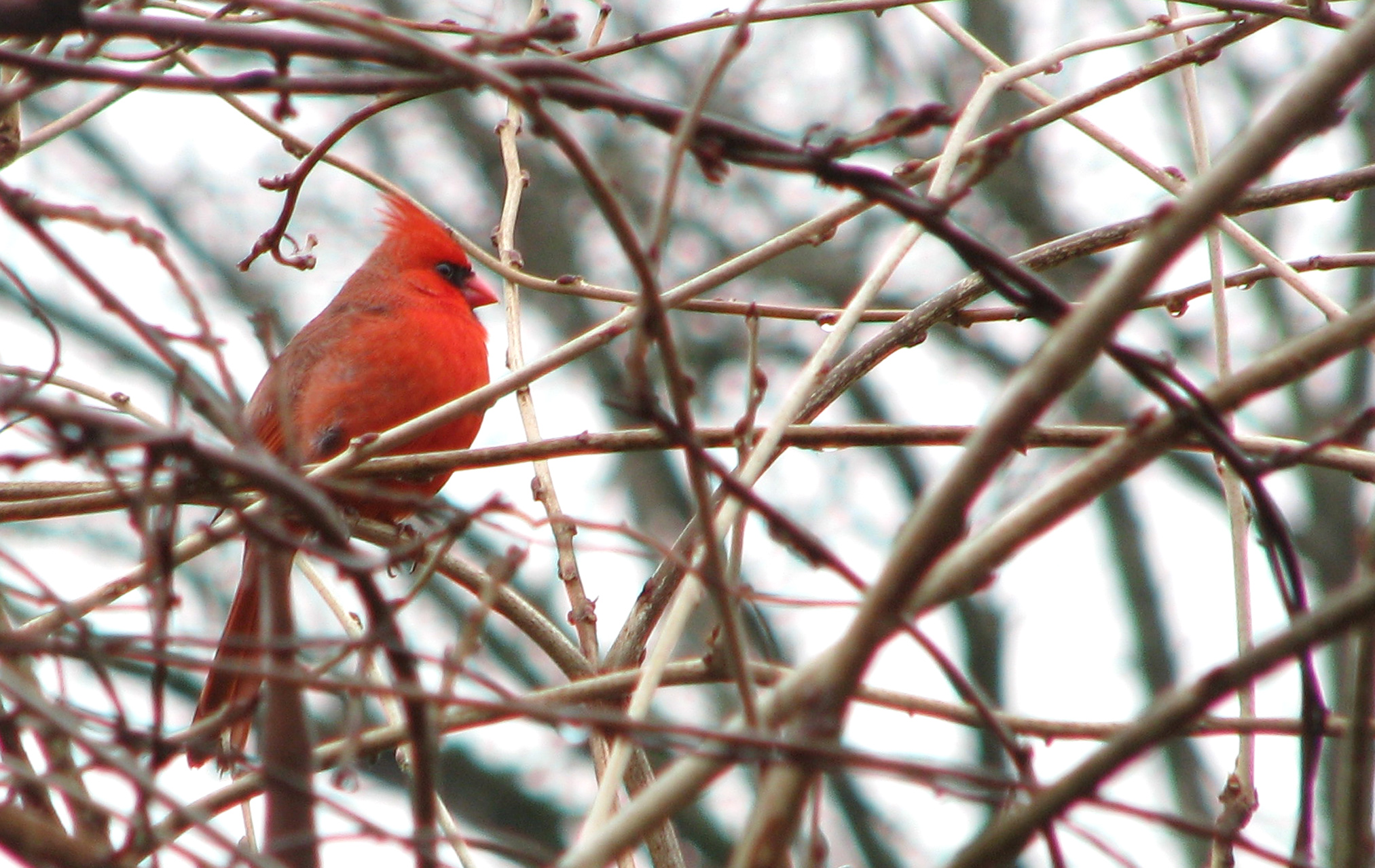 Cardinal in branches