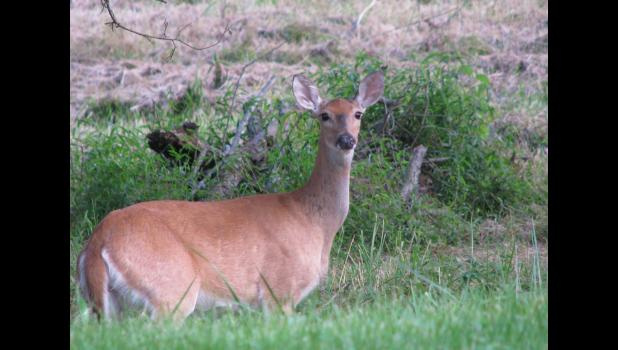 White-tailed deer are  a common sight along roads and highways in the Union County area. File photo.