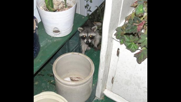 Rocky, the Raccoon, paid us a couple of night time visits last week. Or, should I say Rocky the Trash Panda?