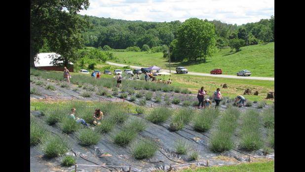 Shawnee Hills Lavender near Cobden hosted u-pick events in 2016. The farm was established in 2014 and is owned by Charlotte and Doug Clover. File photo.