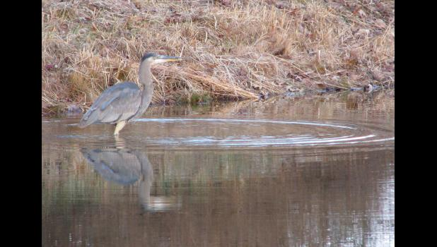 A heron was seen wading through what I'm assuming was some chilly water in a pond near Cobden on a  recent December morning.