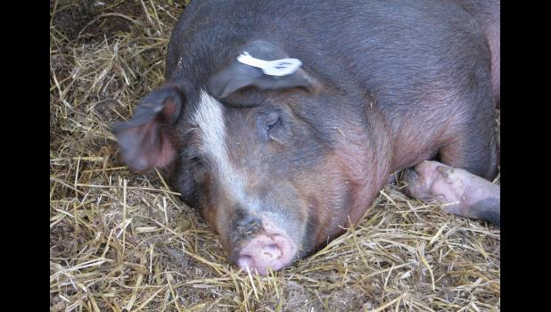 Groun hog? Nope. How 'bout a hog on the ground? This porker was enjoying a siesta one afternoon last week at the Union County Fair.