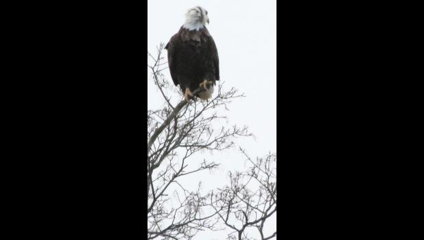 A bald eagle perched at the top of a tree along old U.S. Route 51, not far from metropolitan Anna: Unexpected? Yes.