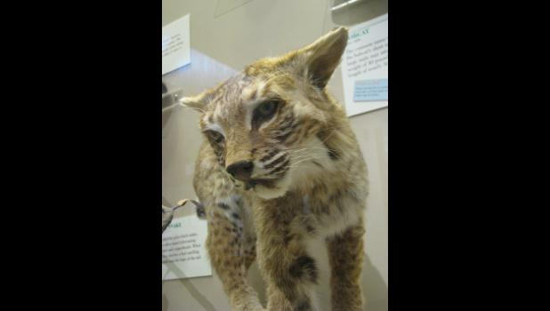 One of the displays at the visitors center at Giant City State Park features animals which can be found in the woods in our neck of the woods. The bobcat is one of those critters. So is Bob the Cat. I'm pretty sure that Bob the Cat could give a bobcat a run for its money.
