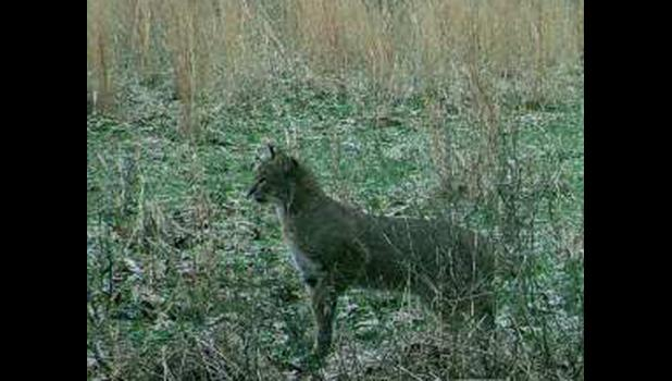 A fellow traveler on The Journey Through Life shared this image of a bobcat which was captured on one of those nifty field camera thingies.