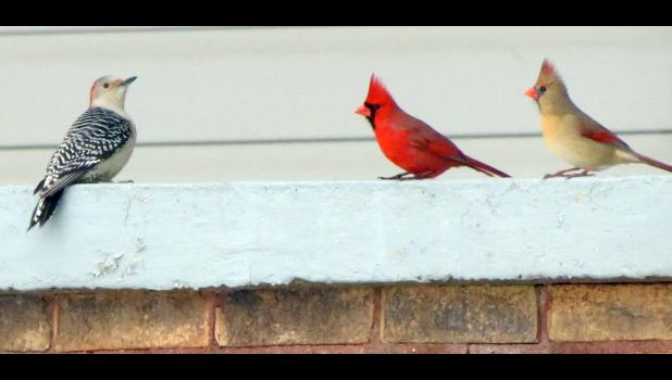 """A woodpecker of some sort, on the left, was having a chat with a pair of cardinals on one of our recent bitterly cold afternoons here on Planet Earth. Sorry your writer is not more of an """"expert"""" when it comes to identifying birds."""