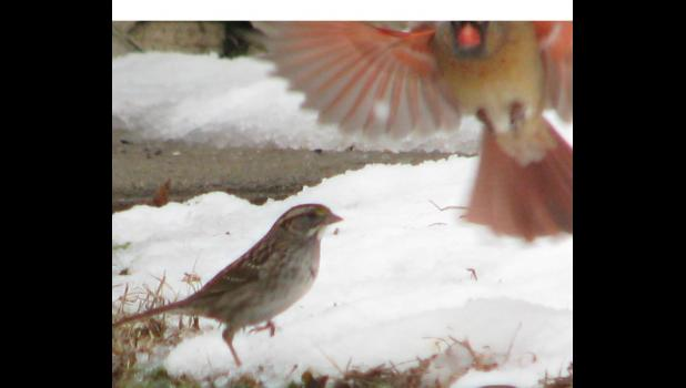 February 16: A cardinal (not Fredbird) comes in for a landing.