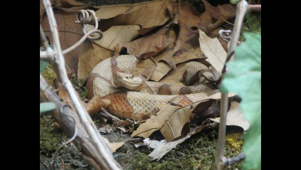 Real? Nope. At least not in the sense that it was really alive. This version of a copperhead snake can be seen at the visitors center at Giant City State Park, where a program about Snake Road in Union County was presented last weekend. Copperheads are among the species which might be seen on a visit to Snake Road.