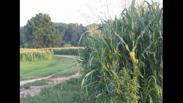 Corn appeared to be doing quite well at the Union County State Fish and Wildlife Area near Ware. Most of us around here know the place as the refuge.