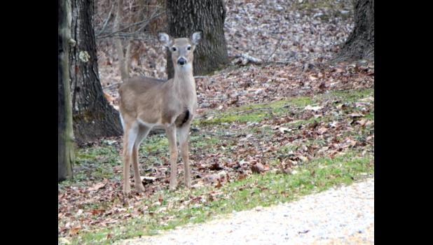 Thank goodness there's only one white-tailed deer in this photograph. I actually saw two of the critters standing close to each other along a driveway in the suburbs of either Cobden or Alto Pass last Friday afternoon. So, did I see two deer...or two deers?