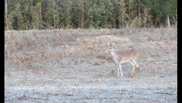 As Homer Simpson might say...doh...a deer...a female deer? This critter was spotted last Sunday afternoon, not far from the Kaolin Road, in suburban Mountain Glen.