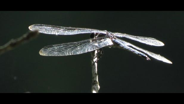 The same dragonfly...from a different angle...
