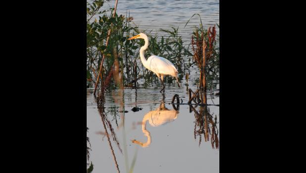 June 30. Egret. In floodwaters near Ware.