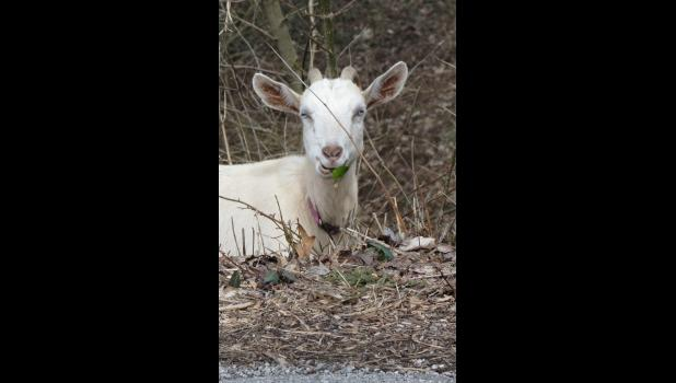 Is this a GOAT or the G.O.A.T.?