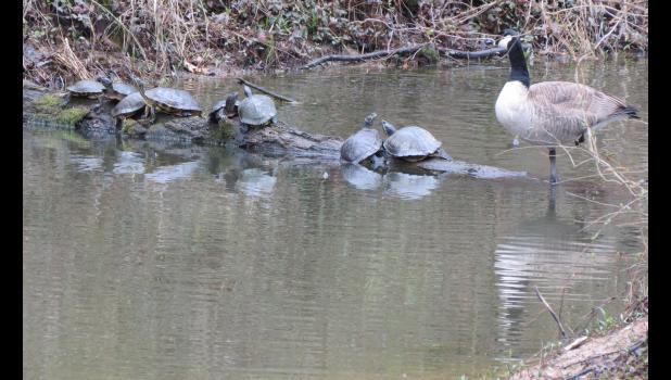 """Normal? Can't tell you the answer to that one. """"Normally,"""" I would not expect to see turtles and Canada geese hanging out together on a log, but, there they were. Social distancing, however, did not seem to be a concern for these critters."""