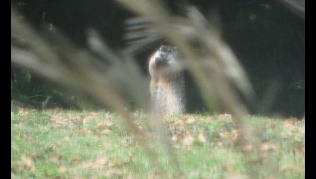 A groundhog, AKA Chuck Wood, was enjoying a snack when your intrepid photographer spotted him last weekend. The image might not be the greatest, 'cause it was shot through a screen and a window. Oh, well.