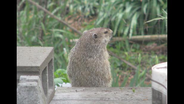 Looking for Easter eggs? Checking out the pantry? A groundhog, AKA a woodchuck, was spotted in our backyard early Monday morning. The critter didn't seem to have a worry in the world.