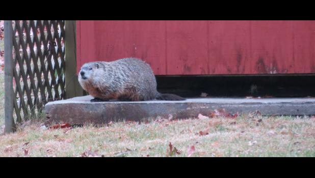 "Scene Three: ""The groundhog can't believe what is happening. Some idiot is still taking his picture. All he wants to do is find something to eat. And maybe take a nap."""