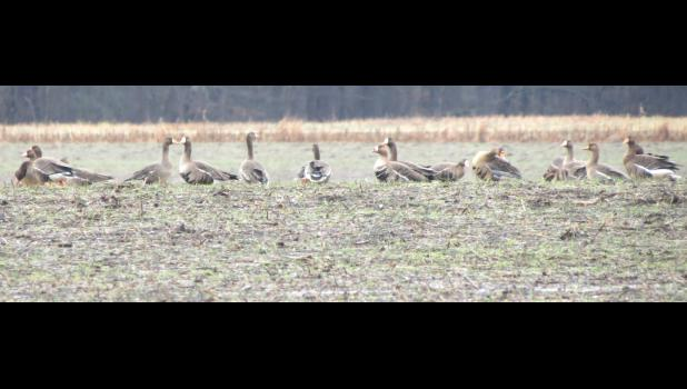 A gaggle of gooses were seen in a field during a recent visit on a very wet Saturday morning to the Union County State Fish and Wildlife Area near Ware. The writer wishes he knowed what kind of gooses they were...
