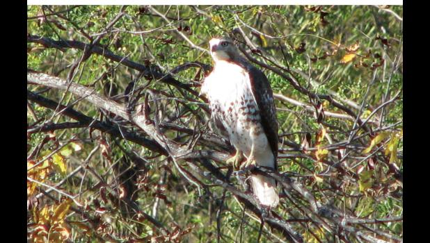 A hawk looked to have been somewhat puzzled by the number of vehicles which were making their way along the levee road along the Union County side of the Big Muddy River on a bright and sunny November afternoon.