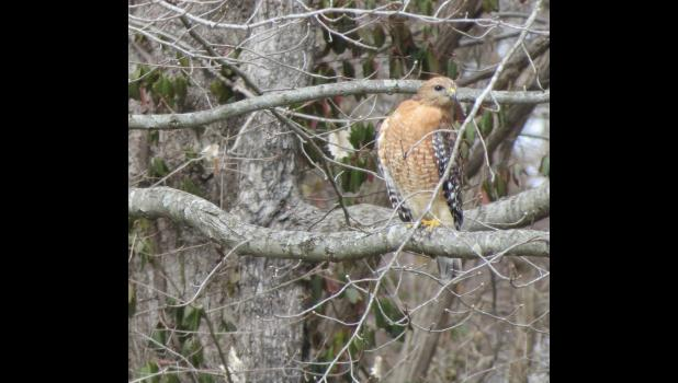 ...don't know what kind of raptor this might be...except that I'm pretty sure that it's a hawk...