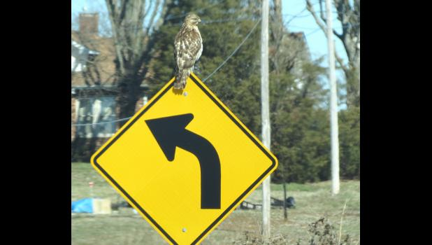 A hawk hanging out on a road sign along Skyline Drive between Cobden and Alto Pass: Unexpected? Yup.