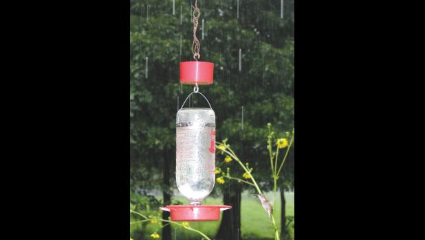 A hummingbird (in the lower right hand corner) didn't seem to mind the downpour: the hummer was stopping at a feeder at the white barn at the Trail of Tears State Forest last Saturday afternoon.