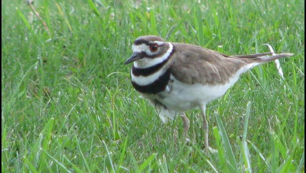 This killdeer was quite content to have its picture taken. Yours truly spotted the feathered critter one morning recently near Cobden. I'm guessing that by its behavior, the killdeer may have had a nest nearby.