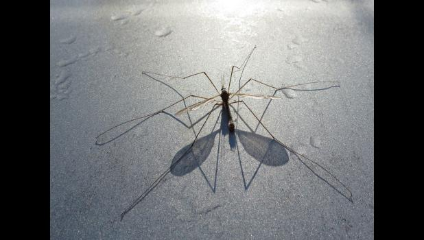 ...spotted what we thought was a Mayfly in the morning dews and damps on the first day of May. Wrong. It's a crane fly. Or not.