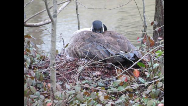 Normal? Probably. I'm going to make the rash assumption that this was Momma Goose. No nursery rhymes were to be heard...I'm thinking she was keeping a nest...and maybe some eggs...warm.