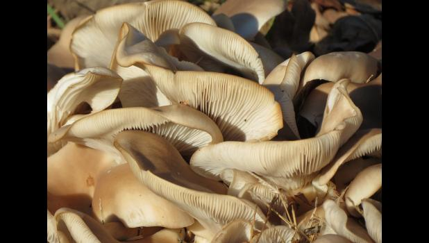 Probably don't want this kind of mushroom on the menu for Thanksgiving...