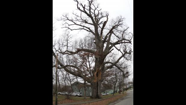 "This is the ""majestic"" tree mentioned in the accompanying word salad. If memory serves me correctly, and there is no guarantee of that, it's an oak tree..."