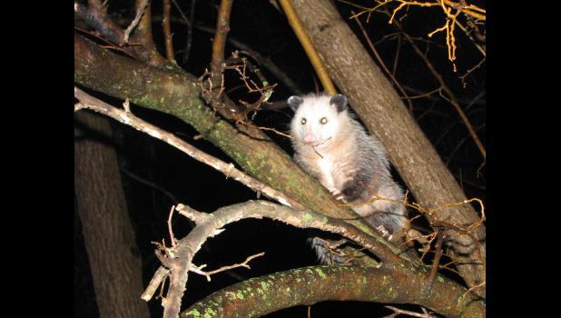 Opossum. Didelphimorphia (Virginia?). Marsupial. Cute? No way.*