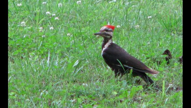 A pileated woodpecker appeared to be grinning at the photographer when the picture was taken. Two of the big birds were actually hanging around at the time, at a location which will remain, well, secret. I will say that it was on the North American continent.