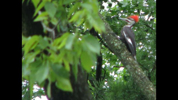 Pileated woodpecker? Ivory-billed woodpecker? Sorry, can't tell you for sure. I can tell you, for sure, that the bird was spotted recently at the Lincoln Memorial Picnic Grounds in Jonesboro. Sorry the picture isn't more better.