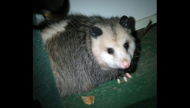 No...this is not Bob... Bob is one of our cats. This is not a cat. It's a possum...and it was right there...on our front porch.