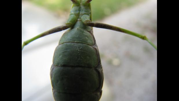 ...I can't tell you for sure, 'cause praying mantises are not particularly chatty. As near as I could tell, this was how the bug decided to show it was bugged by having its picture taken.