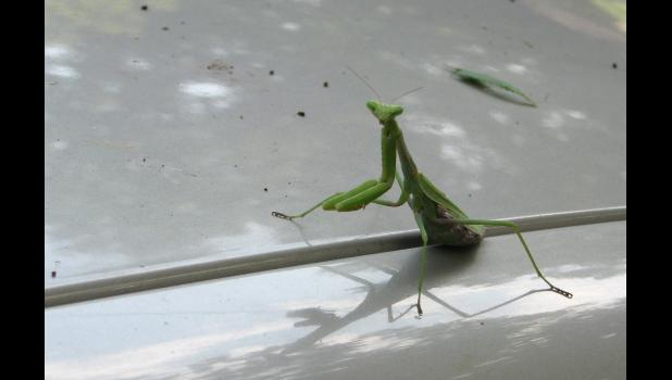 This praying mantis was spotted while yours truly was enjoying a nice Sunday afternoon on the front porch...