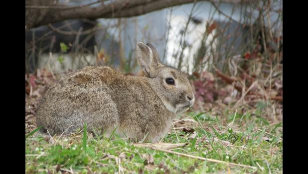 ...nope, this isn't a bear...or a squirrel...but it is a mammal...a rabbit, to be sure...which was having a grass salad for an afternoon snack...(I was really hopping, um, make that hoping, to get a picture of a squirrel snacking at one of our bird feeders.)...I was pretty sure that I would NOT get a picture of a bear snacking at one of our bird feeders...