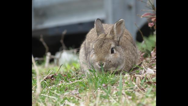 April 17. Well-fed rabbit. Cobden.