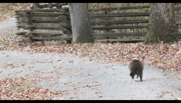 With apologies to The Monkees...there it went...runnin' down the street...gets the funniest looks from...everyone it meets...hey, hey it's a raccoon...(yes, I know, it wasn't running down the street, but I couldn't think of any other words that would rhyme...oh, by the way, you won't be able to get that song out of your mind for days...)