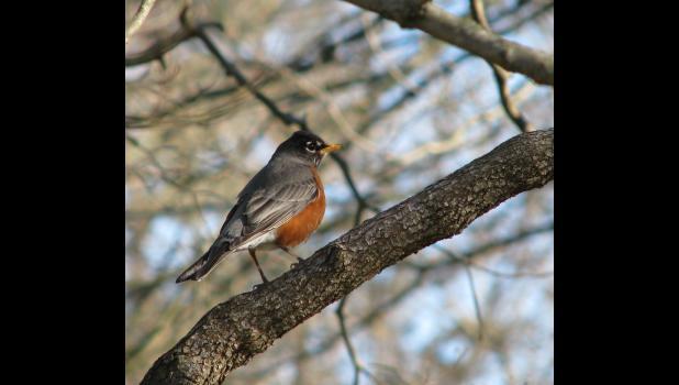 A robin in a bare tree..