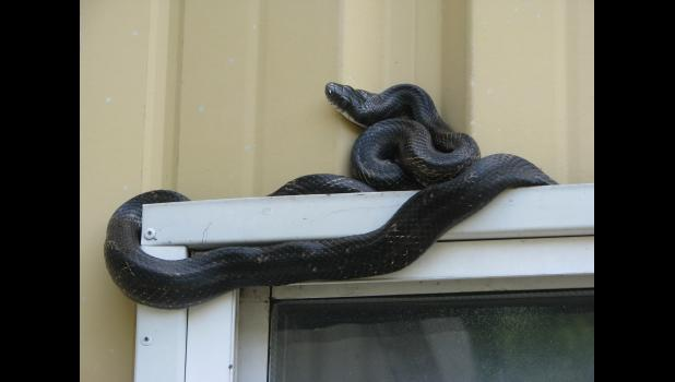A snake's journey involved a window frame on a building near Jonesboro.