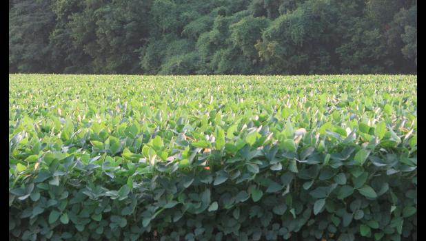 The soybeans growing at the refuge also were in pretty good shape when we paid a visit one evening last week.