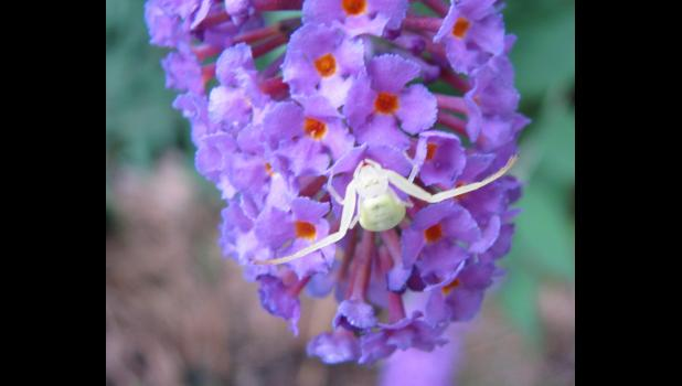 This is neither a bird, nor a butterfly. And it wasn't seen at the picnic grounds in Jonesboro, either. However, it was kind of a neat, ghostly looking spider which was hanging around, for reasons unknown, on a butterfly bush.