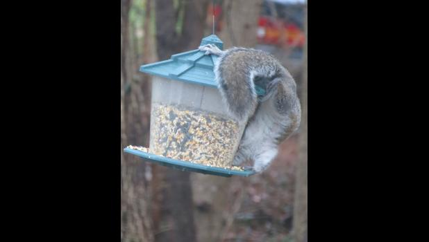 """A """"just for fun"""" foto, which was not taken last Sunday and was not the most flattering of poses, but I'm guessing the squirrel didn't care. The critter was chowing down on a snack at one of our """"bird"""" feeders."""