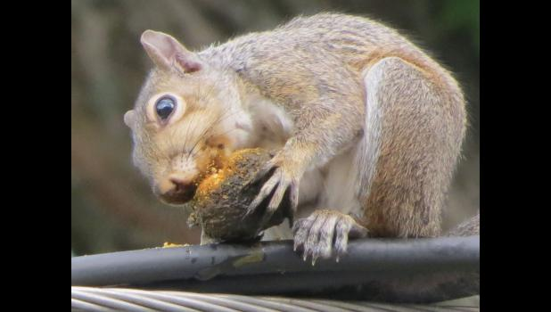 Sometimes you feel like a nut... This bushy-tailed critter was having a good ol' time gnawing away on what looked to be a walnut one evening last week.