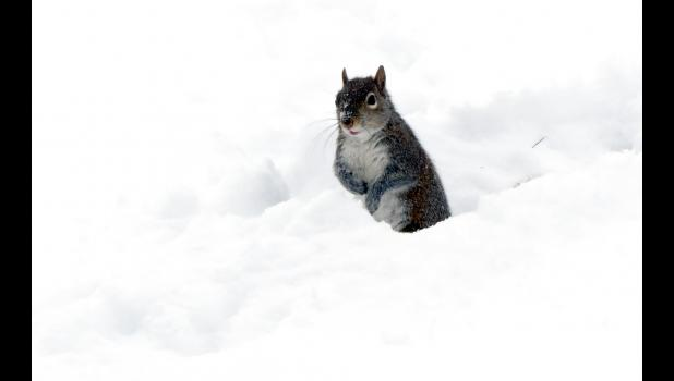 Happened to see this little fellow frolicking in deep snow along a street in Anna one day last week. At one point, he leaped onto a nearby utility pole...and then jumped back into the snow.