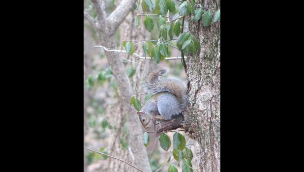 Not sure what sort of pose this squirrel was in when it was spotted on a tree one day last week while your intrepid photographer was wandering around.
