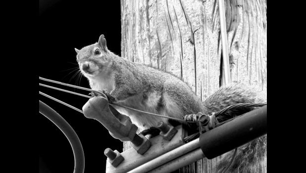 """Bad combination? A squirrel and wires. This bushy-tail paused for a photograph, then scampered off to do whatever squirrels do. Some, apparently, make bad decisions with wires and high-voltage situations. This image was """"solarized,"""" as opposed to a squirrel which may have been """"energized"""" as the result of a bad decision which had nothing to do with a pink, drum-playing bunny."""